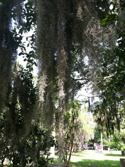 I love the Spanish moss on the oaks!