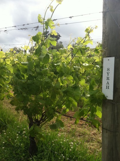 The famous Kennedy Point syrah grapes in spring finery.