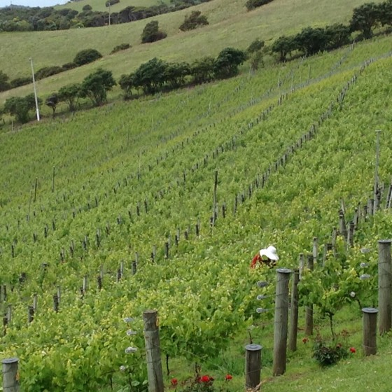 A woman prunes the grape vines at Te Whau Vineyard. The grapes are tiny, as it is spring.