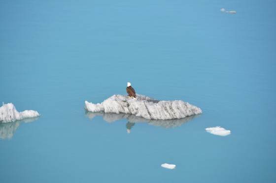 A bald eagle on an iceberg so close we felt we could reach out and stroke it.