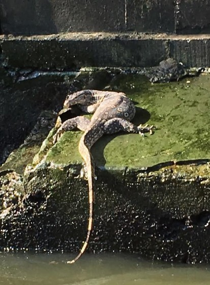A croc spotted on the Bangkok Khlong San