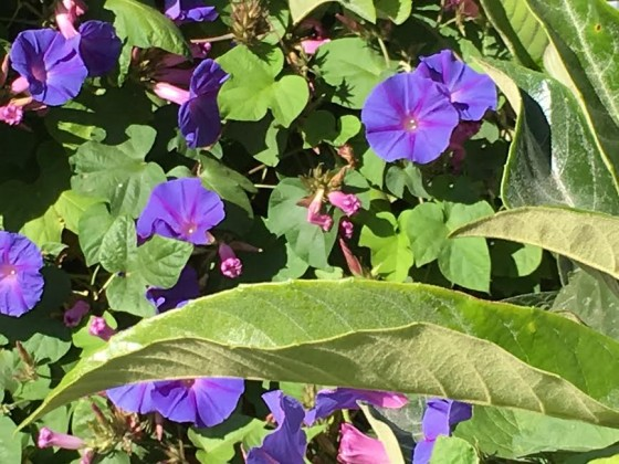 A flower-filled city, Valparaiso has morning glories climbing up walls everywhere.