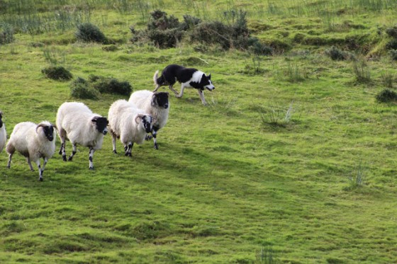 A border collie, working as a sheep dog, shows us his value. Photo by Debbie Blum