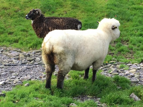 ireland-sheep-two-varieties